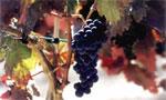 uva-ecologica-tempranillo